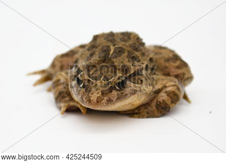 Toad Pintojo Frog On White Background Species Exclusively Present In Spain (discoglossus Jeanneae)
