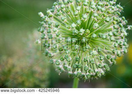 Giant Onion (allium Giganteum) After Blooming In A Garden
