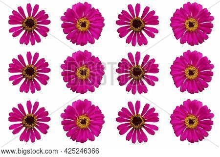 Top View Of Purple Zinnia Violacea Flower Isolated On White Background