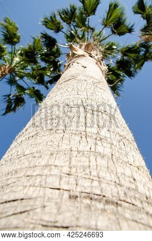 Bottom View Texture Of Trunk Of Palm Tree On Background Of Palm Leaves And Blue Sky. Photo Of Palm F