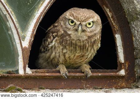 A Close Up Of A Little Owl (athene Noctua) Looking At You From The Broken Window Of An Old Barn. The