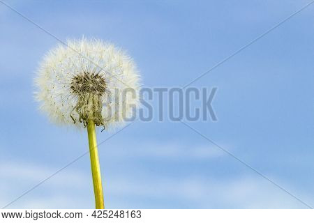 Dandelion Fluff On The Background Of A Beautiful Blue Sky On A Sunny Day, Copy Space.