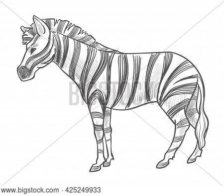 Zebra Animal With Stripes On Fur, Wildlife Mammal