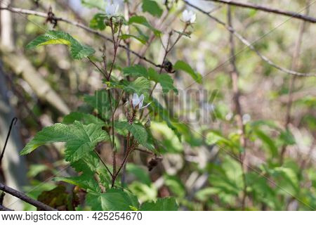Blooming White Terminal Determinate Staminate Cyme Inflorescences Of Pacific Black Berry, Rubus Ursi