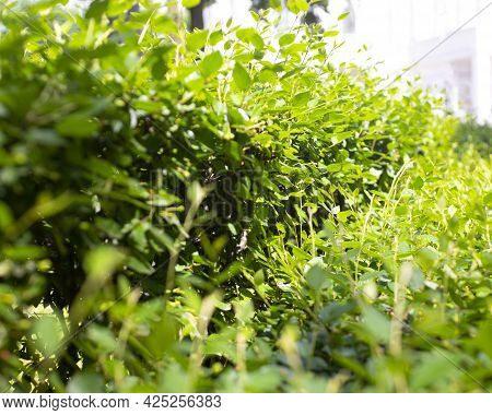 Evergreen Hedge, Green Leaves, Fence From Plants With Trees, Natural Fence With Sun Ray, Natural Gre