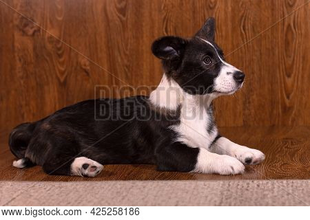 Beautiful Funny Little Dog Corgi Cardigan, Corgi Puppy Close Up.
