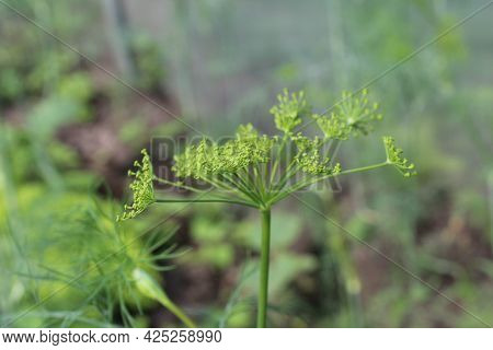 Dill Flowers Close-up. The Flowering Of Greenery. Summer. Growing The Eeleme Of Vitamins Vegetables