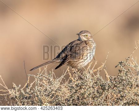 A Beautiful Sage Thrasher Captured As It Was Singing In The Early Morning Atop Of Sage In The Arizon