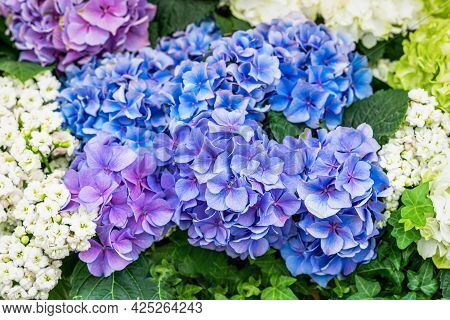 Blossoming Flowers Of Blue Hydrangea. Vivid Summer Background