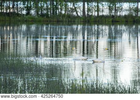 Pair Of Whooper Swans (cygnus Cygnus) On Small Lake In Finnish Nature