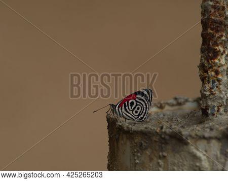 Closeup Of Eighty-eight 88 Butterfly (diaethria Anna) Podocarpus National Park, Ecuador.