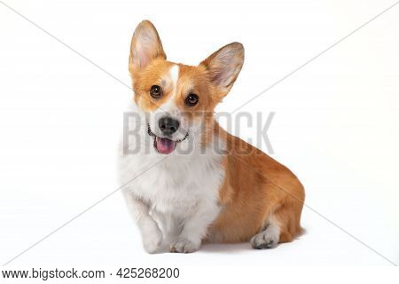 Lovely Smiling Welsh Corgi Pembroke Or Cardigan Sits With Its Paw Raised, Front View, Isolated On Wh