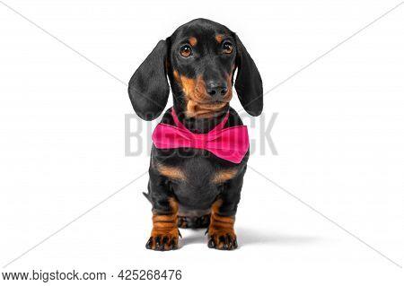 Portrait Of Lovely Obedient Dachshund Puppy Wearing Pink Festive Bow Tie Around Neck Sitting In Anti