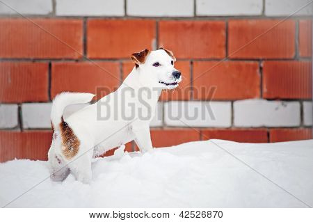 dog Jack russel terrier portrait in winter poster