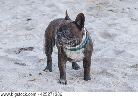 Standing French Bulldog Dog Drips On Beach Sand In Summer Outdoors
