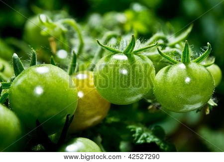 A branch with green tomatoes