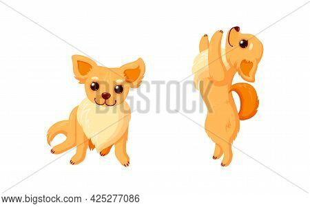 Playful Chihuahua Dog Doing Tricks. Chihuahua Companion With Curly Tails Isolated In White Backgroun