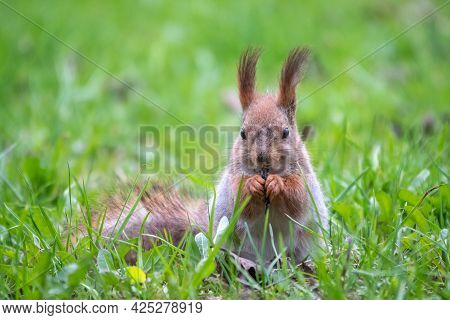 Close-up Portrait Of Squirrel. Squirrel Eats A Nut While Sitting In Green Grass. Eurasian Red Squirr