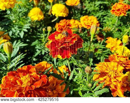 A Bee Sits On A Marigold Flower. Red And Orange Flower, Botanical Photographs.