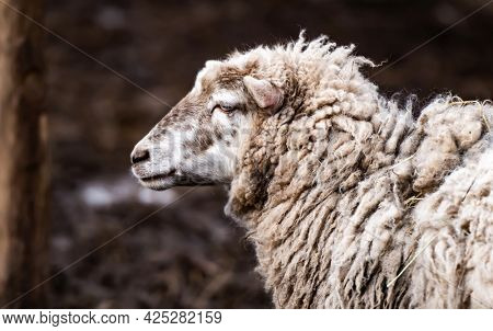 Cute merino sheep with dirty wool standing on the nature and looking back during gazing walk