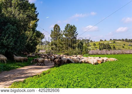 Large flock of sheep and rams is driven along a dirt road around the meadows. Warm sunny february day in Israel. Wide green meadow with lush tall grass. Spring green world