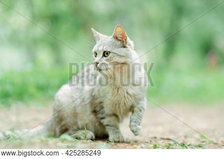 Grey Striped Cat Walking The Streets In The Morning, Yellow Eyed And Beautiful. Breed Is A Mixture O