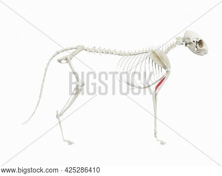 3d rendered illustration of the cats muscle anatomy - triceps medial head