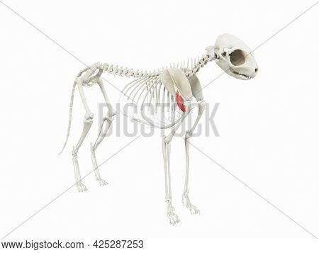 3d rendered illustration of the cats muscle anatomy - deltoideus pars scapularis