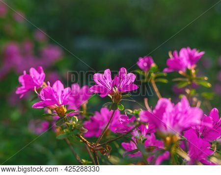 The Beautiful Spring Or Summer Background Of The Pink Azalea Flowers In Full Bloom On The Sunset Wit