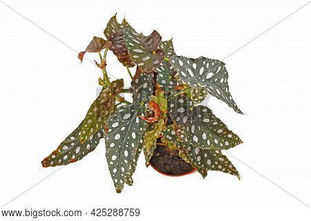 Top View Of Tropical Houseplant With Botanic Name 'begonia Maculata'  With White Dots In Flower Pot
