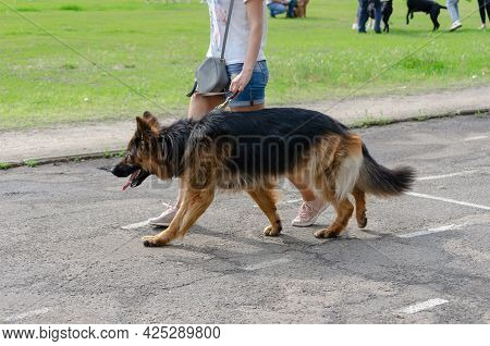 Sexy Woman With Slender Legs In Short Shorts Walks Her Pet. Woman And A German Shepherd Dog Walk Aga