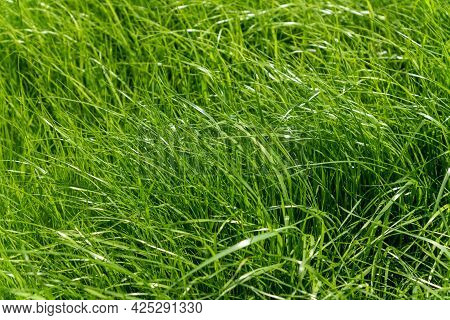 The Texture Of Green Grass Surface For The Background, Grass Field Lawn Pattern Textured