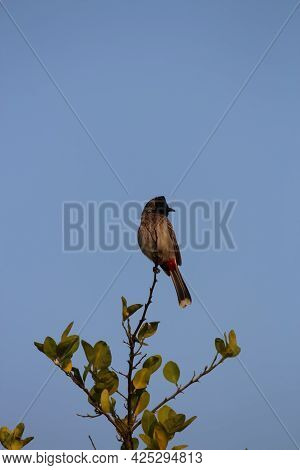 Red-vented Bulbul Bird Portrait While Sitting On The Top Of The Tree