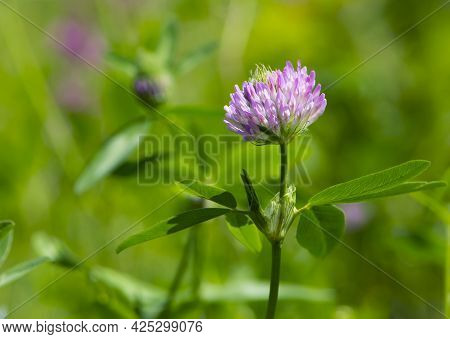 Red Clover, Trifolium Pratense, In A Typical Meadow Environment. Delicate Flower, On A Light Green N