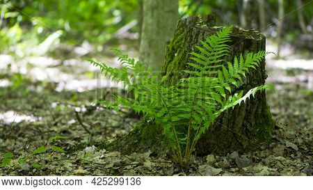 Polypodiophyta. Green Fern Leaves. Forest Fern Has Grown Between Trees. Green Moss, Old Tree Stump.