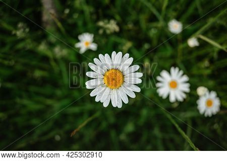 Detail Of Fresh Daisy Flowers. Spring Flower Close Up.meadow Full Of Wonderful Fabulous Daisies. Blo
