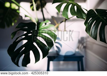 Monstera Green Leaves Or Monstera Deliciosa, Indoor House Plant In Pot.