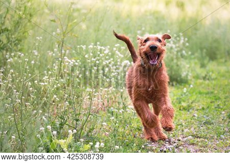 Young Irish Terrier Dog In Motion In The Summer In The Grass In Nature Outdoors, Domestic Purebred P