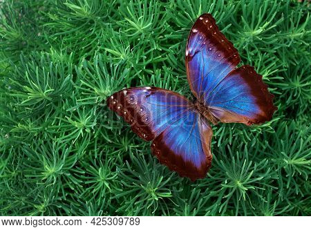 Bright Blue Morpho Butterfly On Green Decorative Grass. Colorful Tropical Background