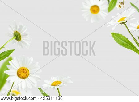 Flying Chamomile Flowers And Green Leaves Isolated On Light Gray Background. Composition Of Beautifu