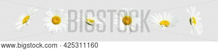Chamomile Flowers Isolated On Light Gray Background. Collection Of Beautiful Chamomile Flowers, Summ