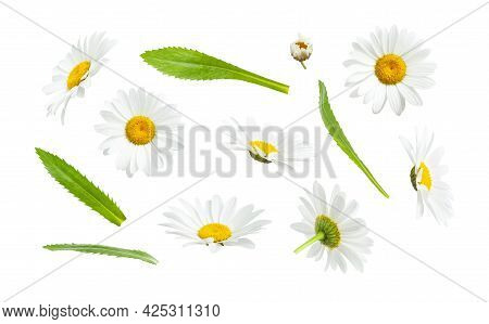 Chamomile Flowers And Green Leaves Isolated On White Background. Collection Of Beautiful Chamomile F