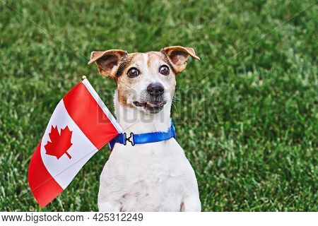 Dog Posing With Canadian Flag On Green Grass. Celebration Of Canada Day. Happy Canada Day. 1st July
