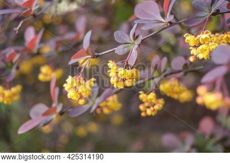 Yellow Flowers Of Barberry (berberis) Close Up