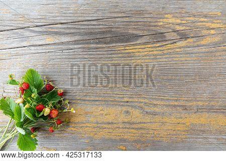 Fragaria Vesca, European Strawberry, Wood Strawberry. Wild Strawberry Bush With Ripe Shiny Red Berri