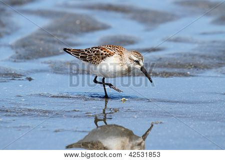 Western Sandpiper (Calidris mauri) feeding in water by the Pacific Ocean poster
