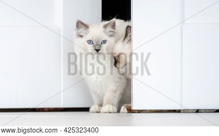 Lovely fluffy white ragdoll cat looks out from behind the door in light room. Beautiful purebred feline pet with blue eyes peeps out outdoors