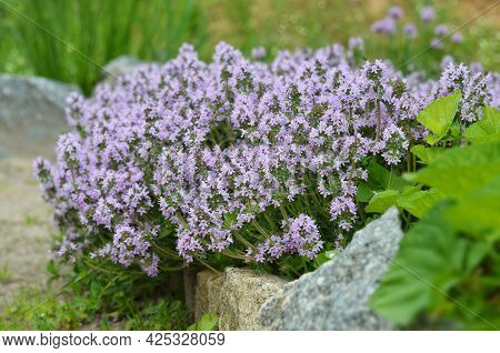 Flowering Thymus Serpyllum, Known By The Names Creeping Thyme, Breckland Wild Thyme Or Elfin Thyme.