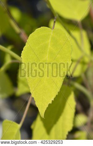 Smooth Hydrangea Annabelle Leaves - Latin Name - Hydrangea Arborescens Annabelle