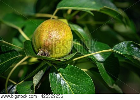 Close-up Garden Unripe Pear On A Branch With Green Leaves. Ripening Of Young Pear Fruits On The Bran